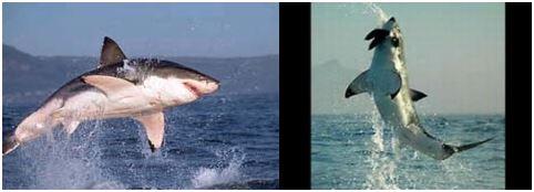 ホオジロザメのジャンプ