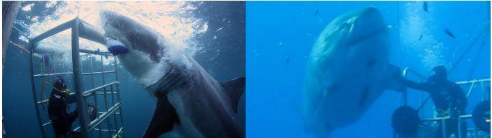 ホオジロザメを観察