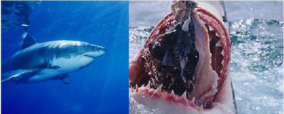 ホオジロザメの飼育は困難である