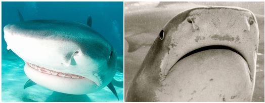 イタチザメの表情