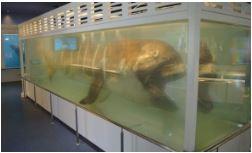 沖縄県美ら海のメガマウス