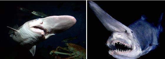ミツクリザメの特徴