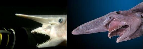 ミツクリザメのあご