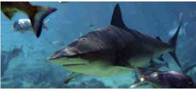 淡水でも生息可能なオオメジロザメ