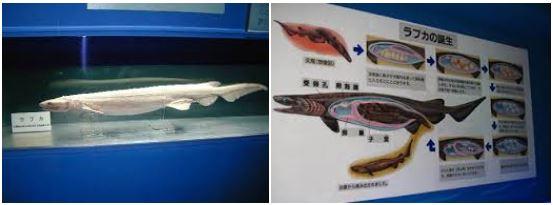 東海大学海洋科学博物館で展示されているラブカの標本と生態の解説図
