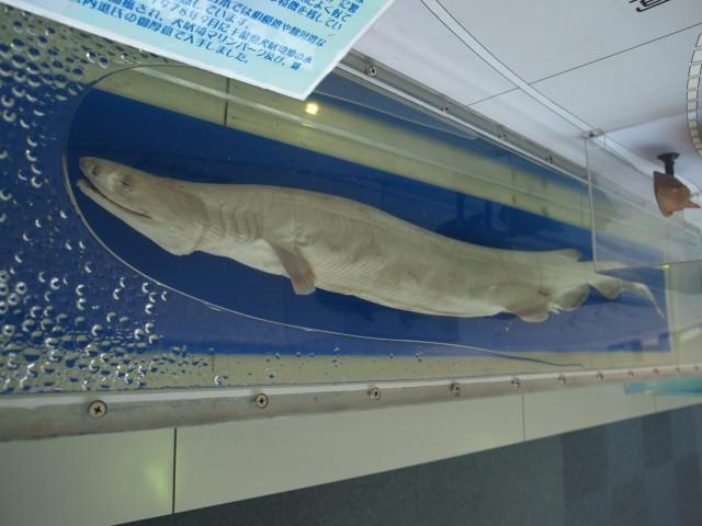神戸市立須磨海浜水族園3Fで展示されているラブカの標本