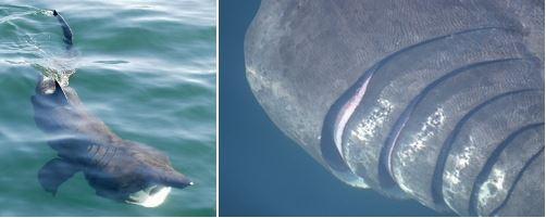 ウバザメの身体的特徴
