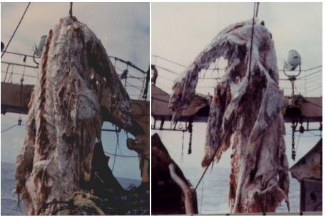 ニューネッシーはウバザメの死骸だといわれている